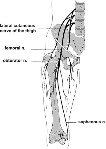 femoral nerve - sciencedirect topics, Muscles