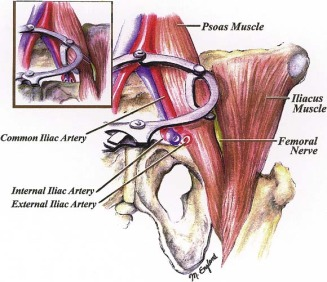 prevention of femoral nerve injuries in gynecologic surgery, Muscles