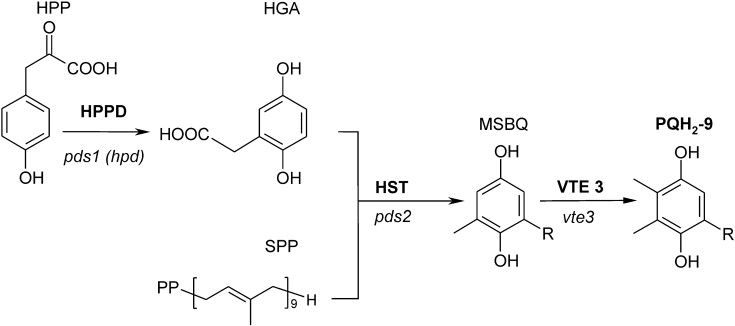 Plastoquinone biosynthesis in plants ansys thermostructural simulations thesis