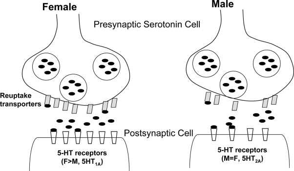 Proposed sex differences in a 5-HT synapse, with higher 5-HT reuptake ...