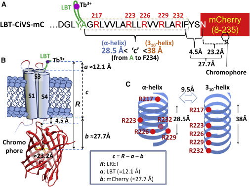 Probing α-310 Transitions in a Voltage-Sensing S4 Helix ...