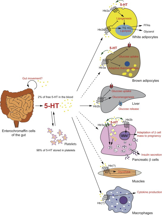 How does Serotonin help maintain Homeostasis?