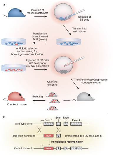 Transgenic Mouse Technology in Skin Biology: Generation of ...