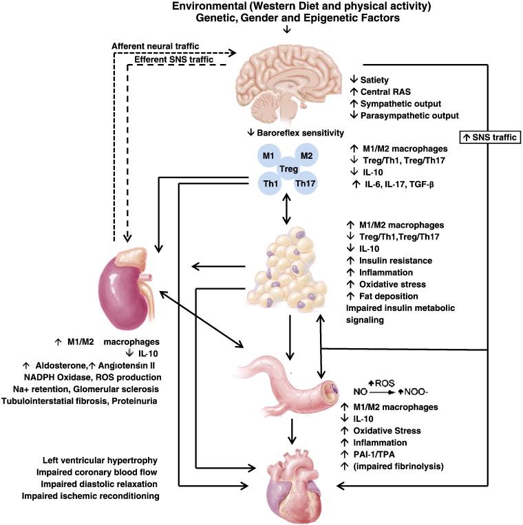 Insulin resistence an immune system response