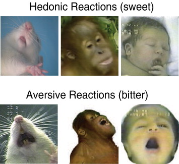 ... tastes in a human newborn, orangutan and adult rat (tongue protrusions; ...