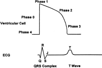 Measured by the surface ECG, the QT interval consists of 2 components: the ...