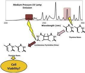 Evaluation of DNA damage reversal during medium-pressure UV ...