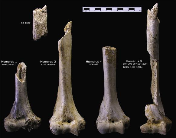 Paleoantropología hoy: El húmero de los neandertales de El Sidrón