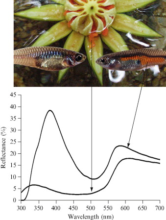 Guppies (female left, male right) and one of the orange fruits (Clusia sp.