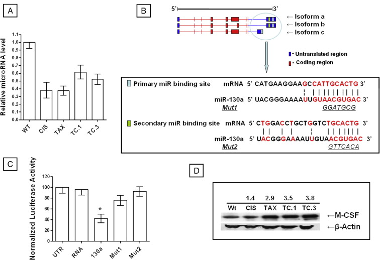 (A) Mature miR-130a expression assessed using TaqMan microRNA assay.