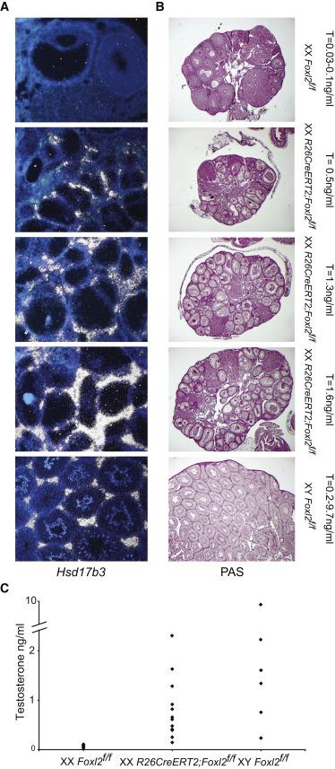 XX R26CreERT2;Foxl2f/f Gonadal Sex-Reversed Mutant Mice Have Testosterone ...