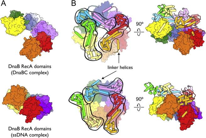 DNA replication of prokaryotes 1-s2.0-S0092867413002924-figs6