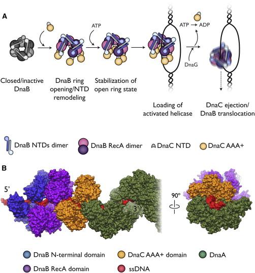 DNA replication of prokaryotes 1-s2.0-S0092867413002924-gr7