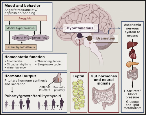 Image result for hormone gut cycle image