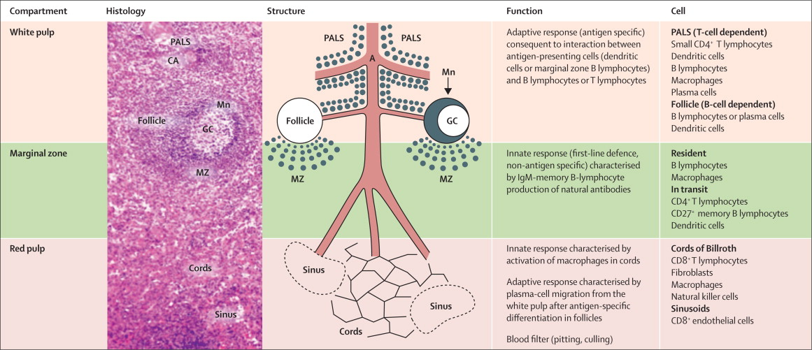 post-splenectomy and hyposplenic states - sciencedirect, Human body