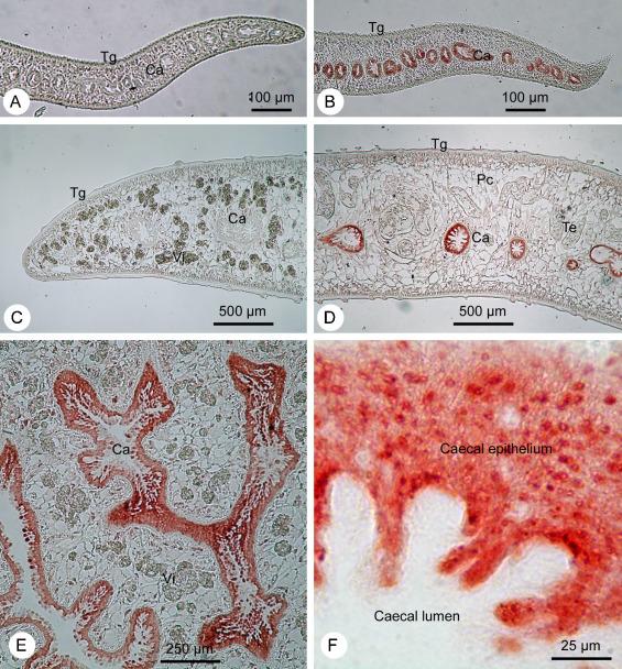 ... and adult F. gigantica by rabbit anti-rFgLGMN-1 antiserum (B, D?F).