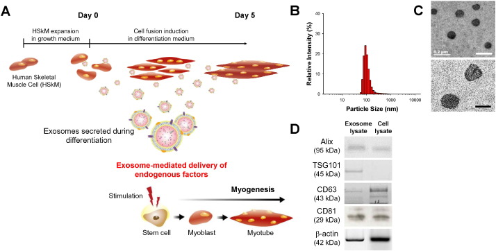 exosomes from differentiating human skeletal muscle cells trigger, Muscles