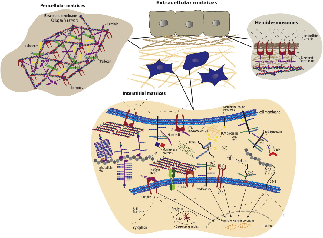 The extracellular matrix at a glance | Journal of Cell Science