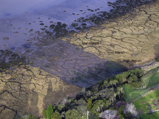Bronze Autumn Colours Bald OR Swamp Cypress Taxodium distichum exfoliating bark 15cm Tall Starter Plant