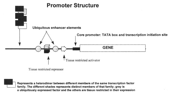 The 5′ promoter of a gene can