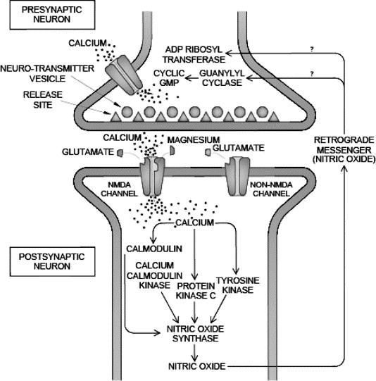 Magnesium has a role in regulating calcium ion flow in neurons.