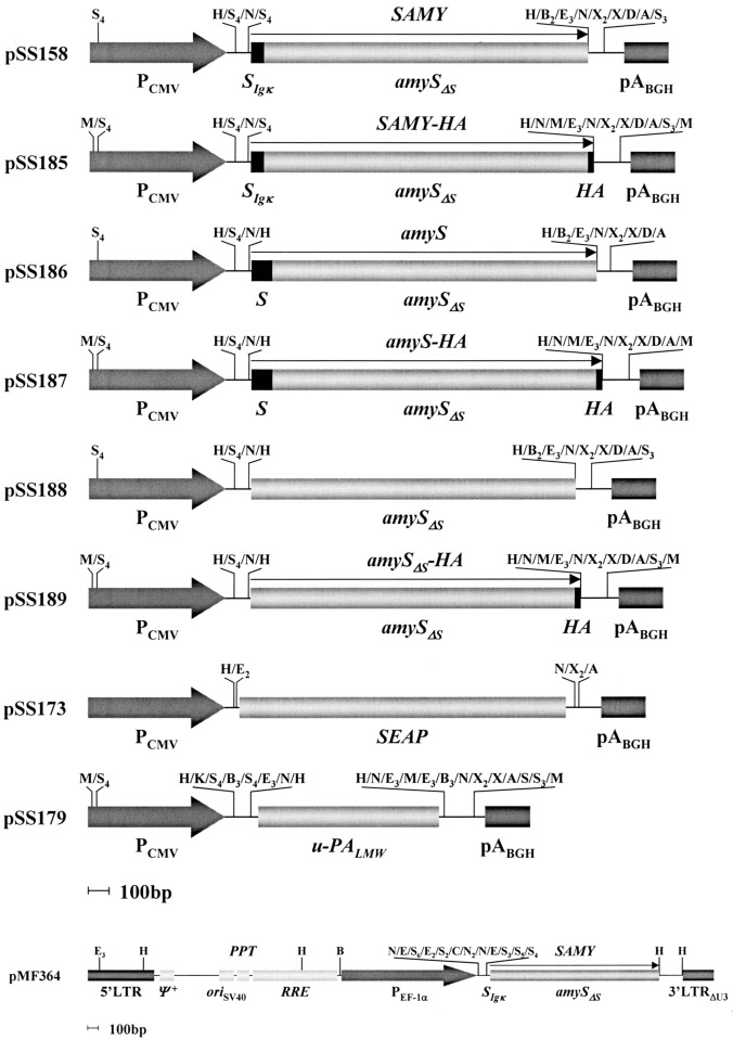 ... the full-length Bacillusstearothermophilus α-amylase (amyS), an amyS ...