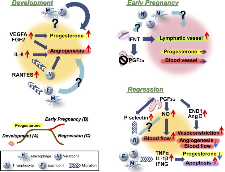 Bovine Lymphatic System