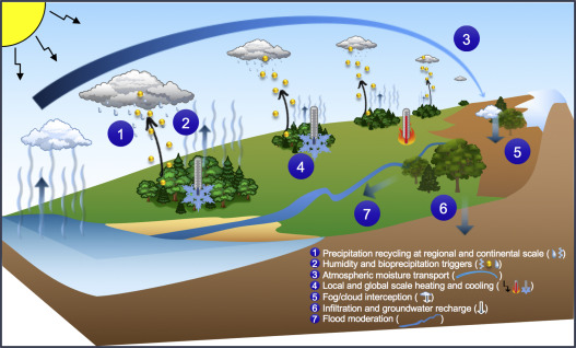Effects of forests on water and climate at local, regional and continental scales through change in water and energy cycles. (1) Precipitation is recycled by forests and other forms of vegetation and transported across terrestrial surfaces to the other end of continents. (2) Upward fluxes of moisture, volatile organic compounds and microbes from plant surfaces (yellow dots) create precipitation triggers. (3) Forest-driven air pressure patterns may transport atmospheric moisture toward continental interiors. (4) Water fluxes cool temperatures and produce clouds that deflect additional radiation from terrestrial surfaces. (5) Fog and cloud interception by trees draws additional moisture out of the atmosphere. (6) Infiltration and groundwater recharge can be facilitated by trees. (7) All of the above processes naturally disperse water, thereby moderating floods. (For interpretation of the references to colour in this figure legend, the reader is referred to the web version of this article.)