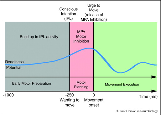 Based on the data          reviewed in this paper, it is possible to propose a general          anatomo-functional model of the neural processes leading to the          emergence of 'conscious motor intention' and the feeling of          'urge to move'. Initially, there is an unconscious phase of          motor preparation, which emerges within a wide          mesolimbic-fronto-parietal network (Box 1). This early phase          recruits the sensorimotor system, as can be seen in the rise of          a readiness potential within the mesial precentral area (MPA),          around 1 s before movement onset [12,13,16]. Conscious intention          emerges around 250 ms before movement onset [12,13,15,16] as a          result of a progressive increase of neural activity within the          inferior parietal lobule (IPL), during the phase of early motor          preparation [1,11]. During the last 250 ms before movement          onset, the consciously selected response is planned within          cortical and subcortical sensorimotor regions. An inhibitory          control is then exerted by MPA over M1 to prevent an early          release of the motor output [10]. When the efferent command is          ready to be issued, MPA releases it by suppressing its          inhibitory control. This release in turn triggers a conscious          intentional urge to move, which occurs a few tens of          milliseconds before actual movement onset [1,12].
