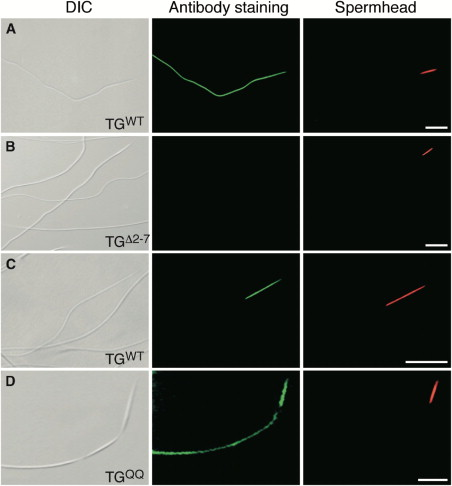 Sex-Peptide Lacking the N-Terminal End Cannot Bind to Sperm; SP Containing a ...