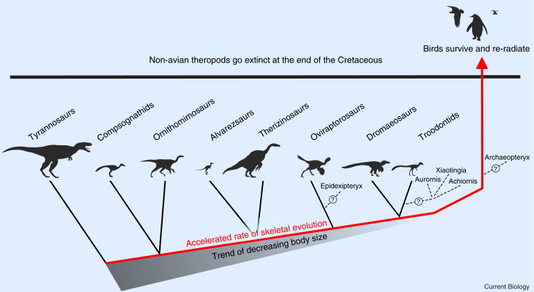 The theropod tree.Evolutionary tree of theropod dinosaurs, simplified from ...