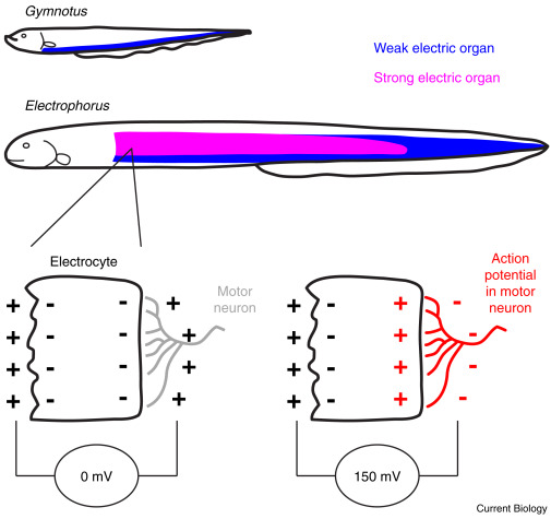 Animal Behavior: Electric Eels Amp Up for an Easy Meal - ScienceDirect