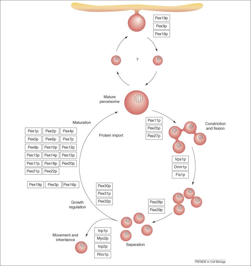 Pex19p, Pex3p and Pex16p facilitate the insertion of peroxisomal membrane ...