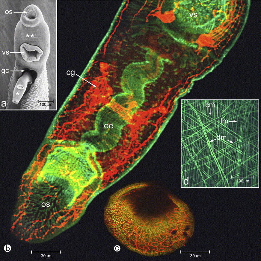 1 s2.0 S0968432803002117 gr15 (a) SEM image of adult Schistosoma mansoni pair in permanent copula from ...
