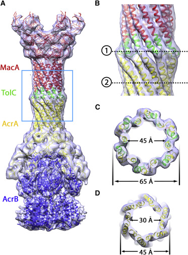 Cryo-EM MAP Fitted with a Pseudoatomic Model of the ComplexThe models for AcrB, ...