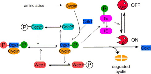 1 s2.0 S1046202306001812 gr1 mathematical modeling as a tool for investigating cell cycle came frog wiring diagram at alyssarenee.co