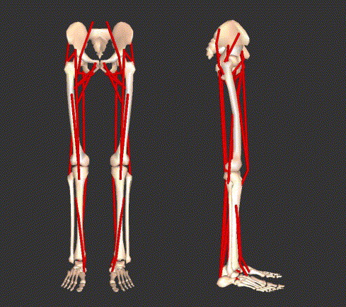 force, work and power output of lower limb muscles during human, Muscles