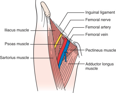 radial and femoral artery catheterization techniques, Muscles