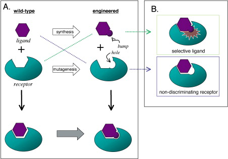 Engineering Selectivity and Discrimination into Ligand-Receptor ...