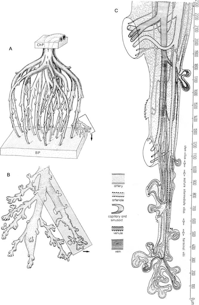 Vascularization of term placenta villi. (A) Arrangement of stem villi as a ...