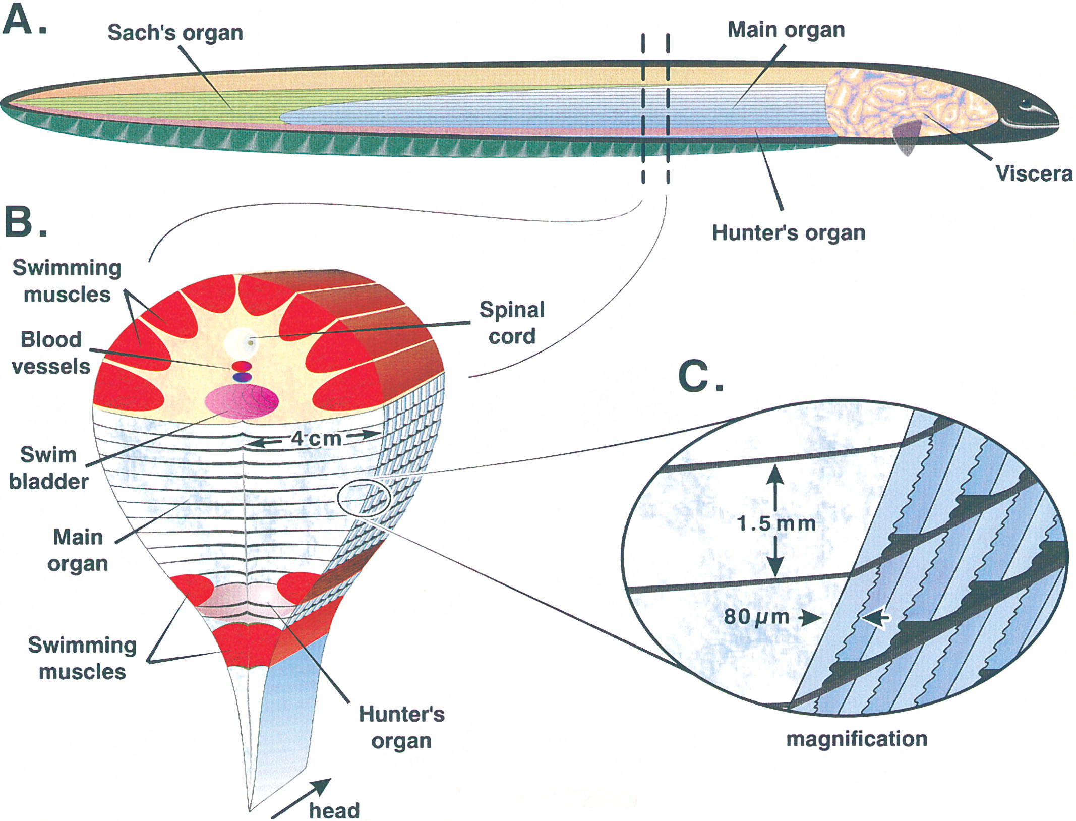 Electric Eel - How Its Internal Organs Produce Electricity
