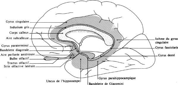 ILLUSTRATION : Gyrus du lobe limbique (Source : ScienceDirect)