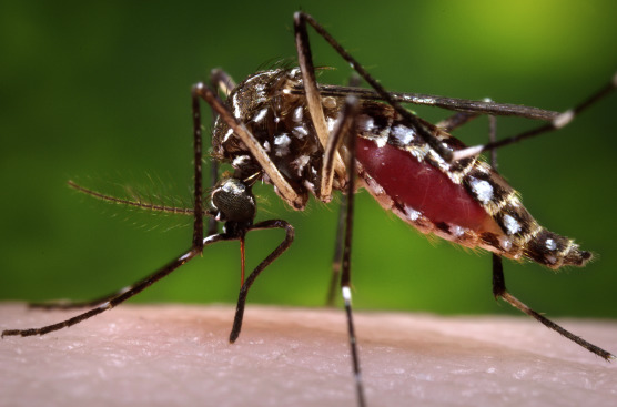 Aedes aegypti mosquito. (Photo by James Gathany, Centers for Disease Control and ...