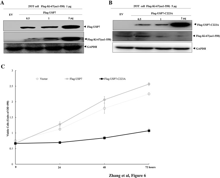 USP7 promotes cell proliferation through the stabilization of Ki ...