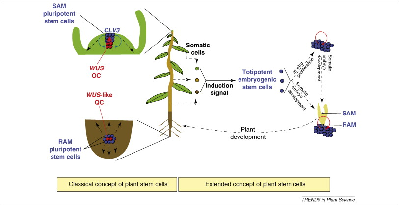 Pluripotent versus totipotent plant stem cells: dependence versus ...