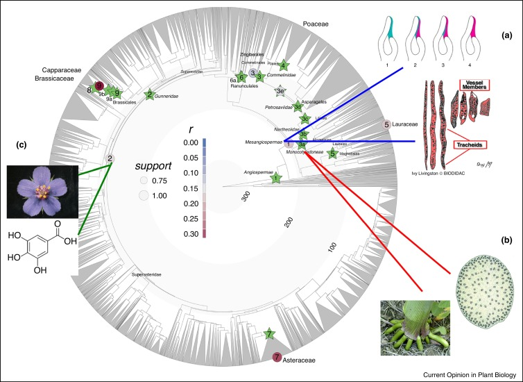 Diversification of angiosperms, showing phylogenetic placements of select WGDs and synapomorphies/key innovations.