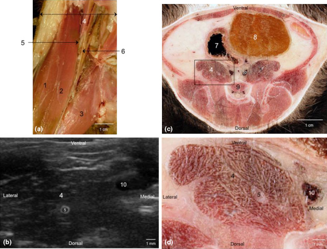anatomical and ultrasonographic study of the femoral nerve within, Muscles