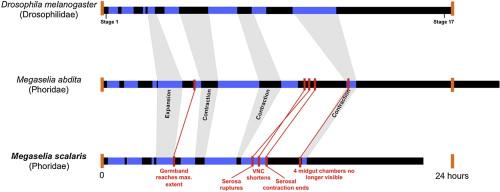 Megaselia Scalaris Descriptive Essay - image 10
