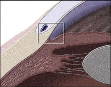 Auriculopalpebral Nerve Horse