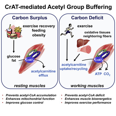 carnitine acetyltransferase mitigates metabolic inertia and muscle, Muscles
